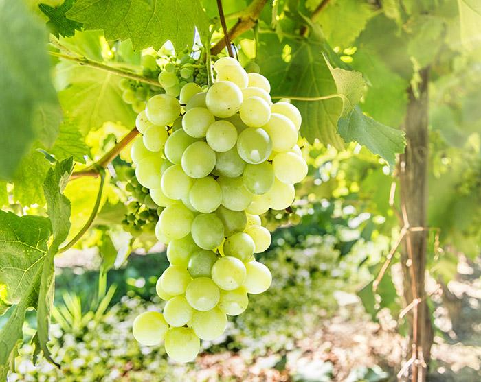 grape frost